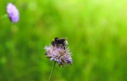 Hermosos grandes manosean la abeja en trébol en el bosque Fotos de archivo libres de regalías