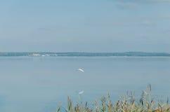 hern一个白色苍鹭的趟水者在湖上飞行 免版税库存照片