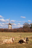 The Hernense windmill. Two horses resting in a meadow with the Hernense windmill in the background stock image