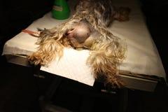 Hernia perineal por el perro Fotografía de archivo libre de regalías