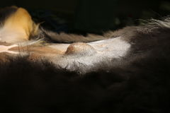 Hernia umbilical por el perro Fotos de archivo