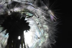 Hero shot of dandelion. A hero shot of dandelion with the reflector lights behind it. A photo studio shot royalty free stock photos