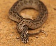 herod-baba zdjęcie royalty free