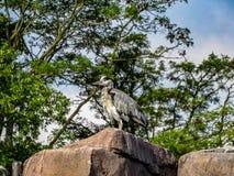 Herodias dell'ardea dell'airone di grande blu con le piume arrotolate sopra l'albero Immagini Stock