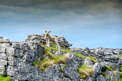 Heroic Sheep standing on Rocks stock image
