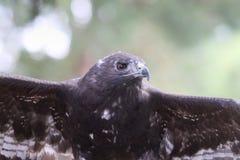 Heroischer hübscher Falke Stockbild