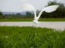 Heron. Photo of a white heron flying in the wild Royalty Free Stock Image