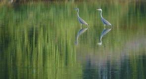Heron Royaltyfri Fotografi