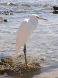 Heron. The heron standing on a stone at the sea. The photo is made in Egypt Royalty Free Stock Images