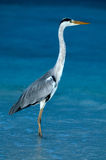 Heron. In the early morning standing in the water stock image