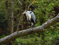 Free Heron Royalty Free Stock Image - 14520146