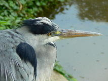 Heron. Grey heron is looking ahead Stock Photo