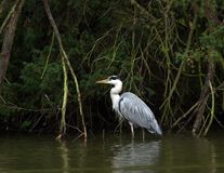 Free Heron Stock Photo - 16723350