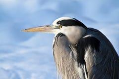 Free Heron Stock Image - 17636371
