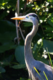 Heron. Blue Heron (Ardea herodias) in backlight condition Royalty Free Stock Photos