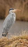 Heron 2. This is the heron from breeding station Stock Image