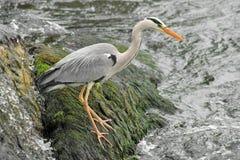 Heron_2 gris Fotos de archivo libres de regalías