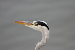 Heron Royalty Free Stock Photo