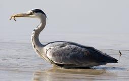 heron royaltyfri bild