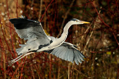 Heron. Moving away from a lake Royalty Free Stock Photo