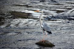 heron Royaltyfria Bilder