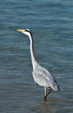 Heron Royalty Free Stock Images