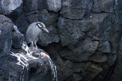 Heron. In the wild in the Galapagos Islands royalty free stock photography
