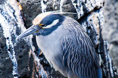 Heron. In the wild in the Galapagos Islands stock photos