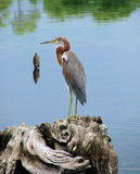 Heron. A Tri-colored Heron stands on a tree stump in front of a lake royalty free stock images