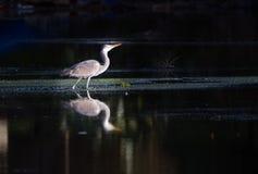 Heron Stock Photos