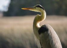 Heron Arkivfoton