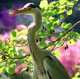 Heron. A closeup of a heron stock image