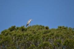 Heron Arkivfoto