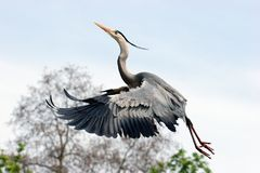Heron. A heron flying off the ground in front of a tree Royalty Free Stock Images