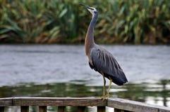 Heron Royaltyfri Foto