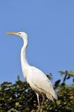 Heron. White crowned heron standing on the tree Royalty Free Stock Photo