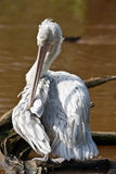 Heron. A heron standing on a piece of driftwood against a background of a brown lake Royalty Free Stock Photography