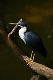 Heron. Black and white heron standing on log Stock Images
