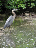 Heron Royalty Free Stock Photography