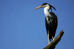 Heron. Black and white heron with sky in background Royalty Free Stock Images