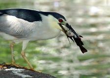Heron. Black Crowned Night Heron Catching Fish Royalty Free Stock Image