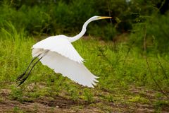 Heron. Photo of a white heron flying in the wild nature Stock Image