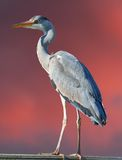 Heron against pink sky Royalty Free Stock Photos