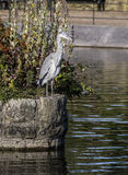 Heron at Alexandra Park in Oldham, Stock Photo