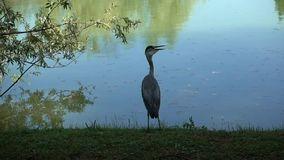 Heron alone  in the park stock video