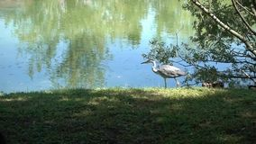 Heron alone  in the park stock footage