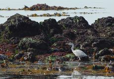Heron on seashore ardea cinerea stock photo