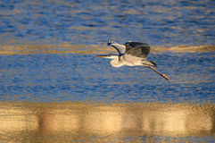 While a heron Stock Images