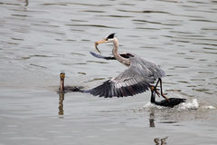 Heron attacked by cormorants Royalty Free Stock Photo