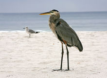 Heron at the Beach. Stoic Heron at the Beach Royalty Free Stock Image